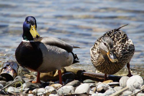 ducks-1417747_960_720